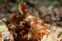 BD-140322-Panglao-3092-Scorpaenopsis-possi.-Randall---Eschmeyer.-2001-(Poss's-scorpionfish].jpg